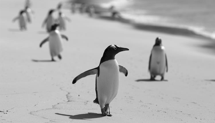 A lone penguin wanders on a beach in the Falkland Islands