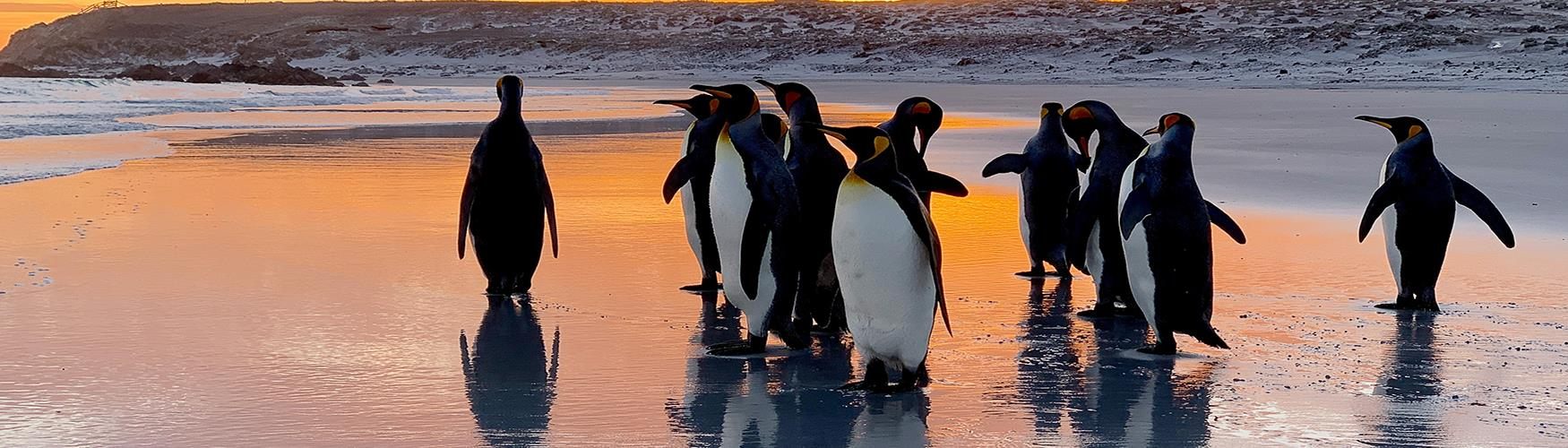 Sunrise at Volunteer Point with King Penguins, Falkland Islands
