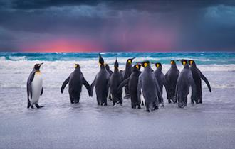 King penguins paddle on Volunteer Beach in the Falkland Islands