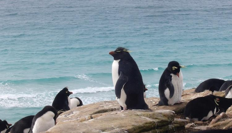 The charismatic rockhopper penguin can be found at 35 colonies in the Falkland Islands
