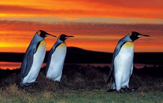 A stunning sunset provides a glorious back group to King penguins